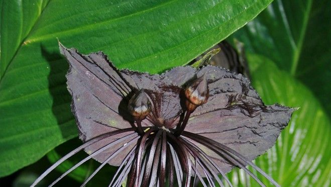 Even Mother Nature celebrates Halloween -- did you know you could grow your  own Black Bat Flower?
