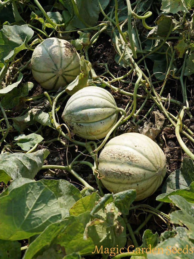 Tropische Pflanzensamen: Cantaloupe Zuckermelone 'Charentais' | Cucumis melo - Samen Magic Garden Seeds