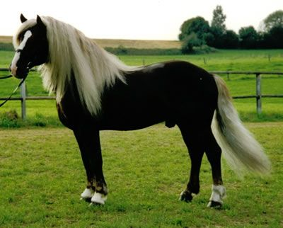 Schwarzwalder Kaltblut (Black Forest Coldblood). This  unusual color pops up frequently in this uncommon German horse breed.    / Such a beautiful horse EL.