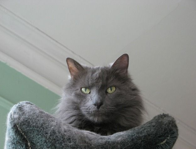 The Nebelung is a young and rare cat breed that can be found in the United States, Canada, Europe and Russia. The cat possesses a coat very similar to the Russian Blue, except that it is longer. The length of the coat, which appears misty or fog-like, may have been the inspiration for the breed's name.