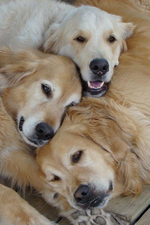 Heaven is a pile of golden retrievers <3