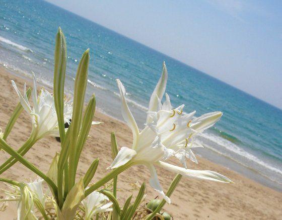Il Giglio Marino..  #Lidofiori, #Menfi. The Sea Lily...#Lidofiori, #Menfi