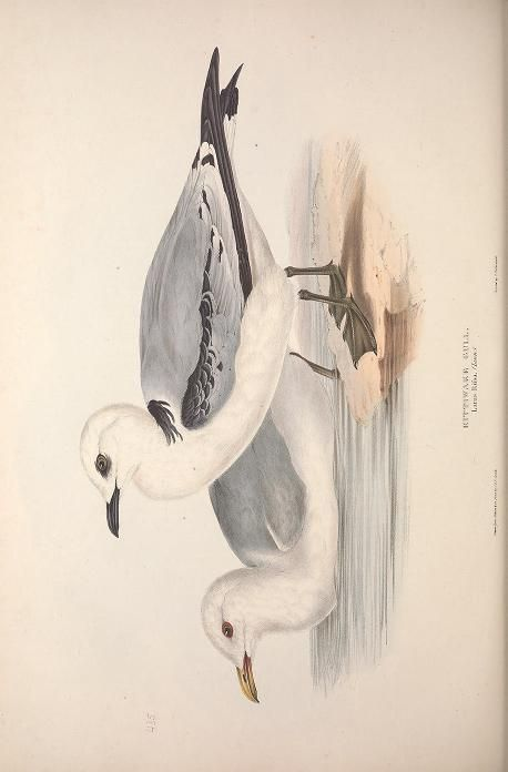 v. 5 - The birds of Europe. - Biodiversity Heritage Library