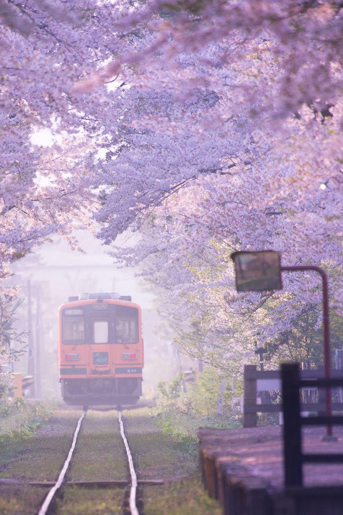 Tsugaru Line running through cherry trees, Japan