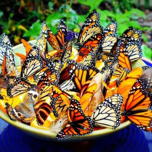 ~ A little bowl containing orange slices attracts butterflies - Garden Idea's