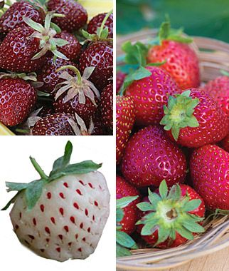 Pineberry plants for sale!  Strawberry, Gourmet Collection  Mouthwatering varieties in purple, red, and white. @Burpee.com    So gonna buy these plants!