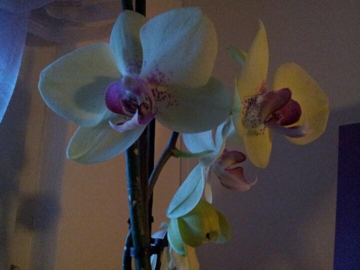 My orchidea