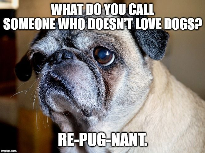 The Pug Considers Anyone Who Does Not Like Dogs Repugnant Pug