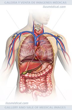 Ilustración Anatomía y fisiología del cuerpo humano. Ilustración del tronco y del abdomen, donde la ....