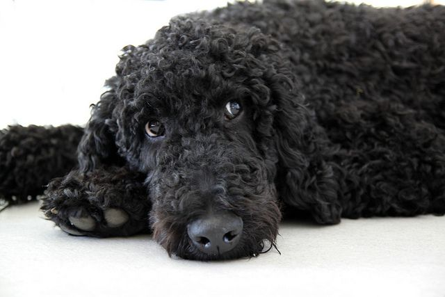 Black standard poodle teddy bear clip
