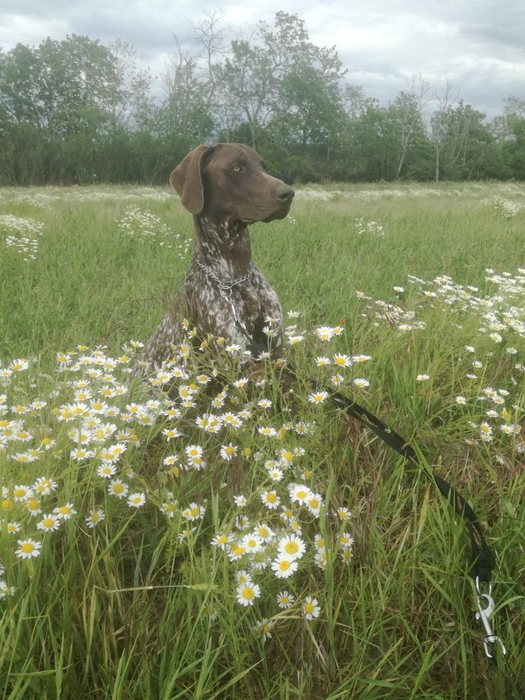 Park Art My WordPress Blog_Wirehaired Pointing Griffon Puppies For Sale 2020 Ohio