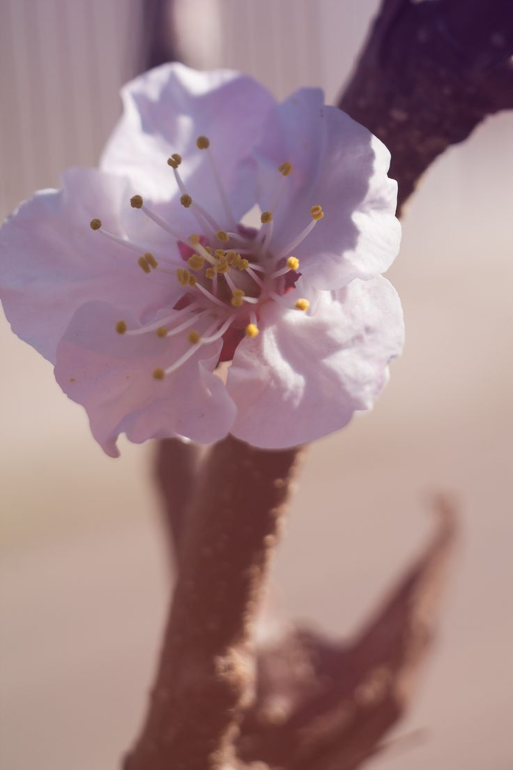 Prunus mume - Freelensing - flor de ciruelo, prunus mume plum flower, prunus mume freelensing photography