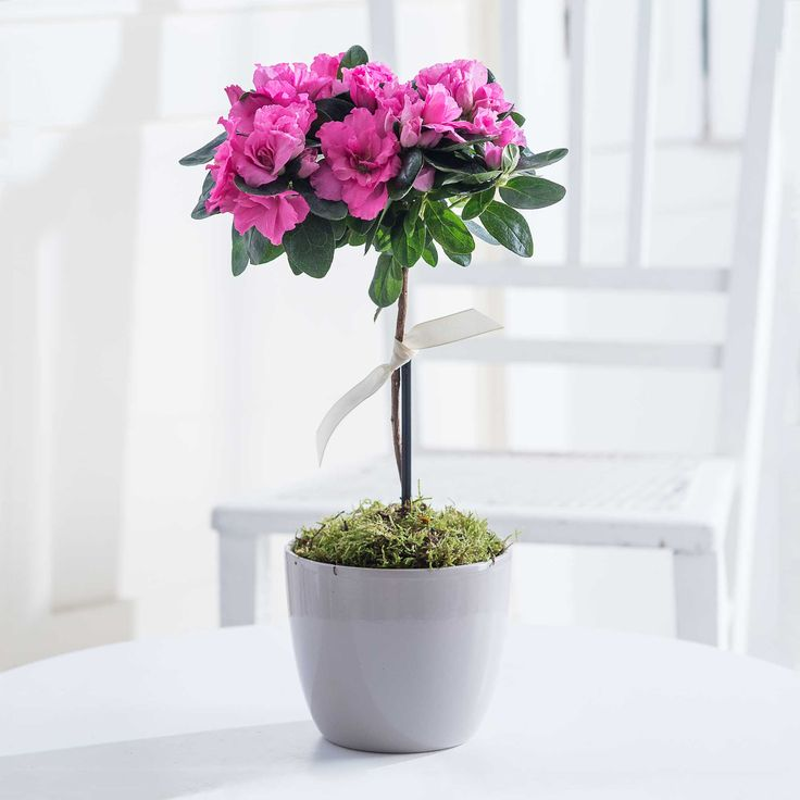 Pink Standard Azalea: Azaleas are always a popular plant and our Standard version is extra pretty! Supplied in a ceramic planter and tied with a ribbon bow, this is a really lovely, long-lasting gift.