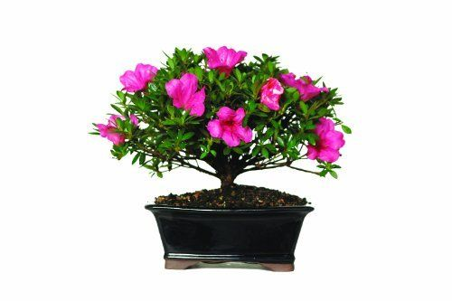 Brussel's Satsuki Azalea Bonsai by Brussel's Bonsai. $48.00. 6 Years old; 10 inches tall. Supplied by America's largest bonsai nursery. Rhododendron indicum. Blooms prolifically in April and May. Beautiful Pink Blooms. Satsuki Azalea bonsai have been grown in Japan for centuries and are widely considered the premiere variety for this use. They bloom later in the spring than other types, producing generous quantities of bright pink blossoms. Satsuki Azaleas are easily st...