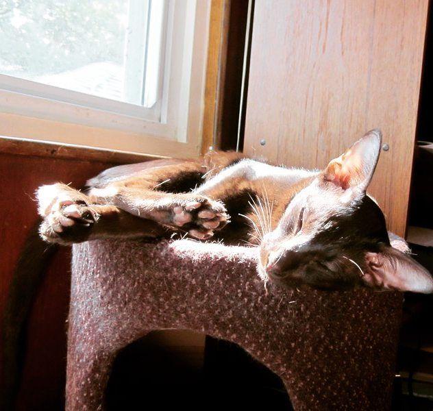 According to Zulu the best way to start off Sunday is in a sunpuddle. #InstaTags4Likes #cat #cats #kitten #kittens #catsagram #catstagram #instagood #pet #pets #selfie #animals #petstagram #petsagram #photooftheday #catsofinstagram #sunday #instagramcats #catoftheday #caturday #lovecats #lovekittens #adorable #catlover #instacat #tortie #oriental #tw #pin