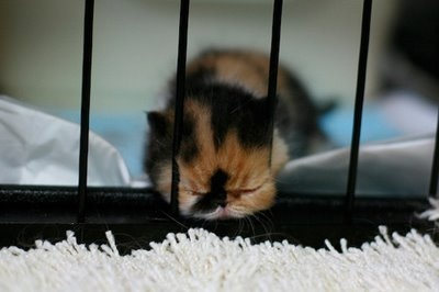 Tired kitten is tiredAnimal Pictures, Memebon Kittens, Baby Kittens, Cutest Things, Cutest Kittens, Kitty, Attempt Jailbreak, Adorable Animal, Baby Cat