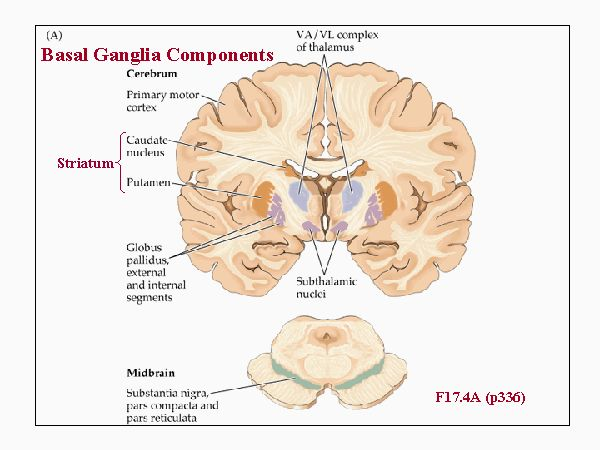 Basal Ganglia components