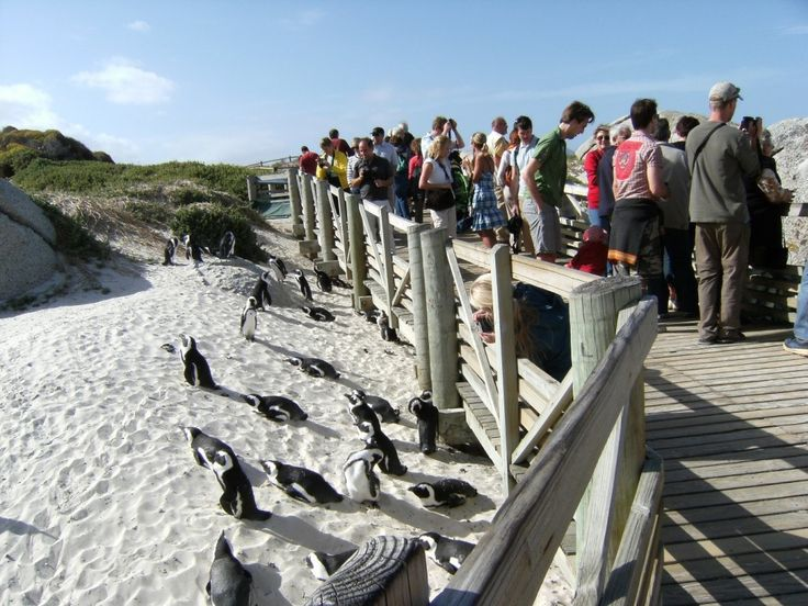A scenic waddle through the Boulders Beach Penguin Colony. See more here: http://www.where2stay-southafrica.com/blog/destinations/scenic-waddle-boulders-beach-penguin-colony