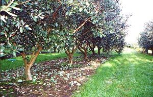 Commercial feijoa trees with single trunks, branching out at 50cms providing ample space for fruit collection.