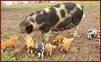 Oxford Sandy and Black and piglets