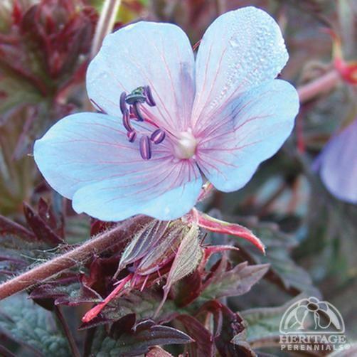 Plant Profile for Geranium pratense 'Midnight Blues' - Meadow Cranesbill Perennial