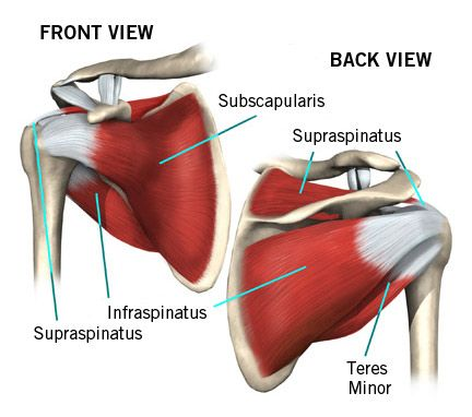 Muscles_of_the_Rotator_Cuff_OAC.jpg (432×382)