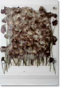 Anya Gallaccio's Preserve during decay. 100 gerberas slowly decay during the exhibition.  Courtesy of Towner Art Gallery, Eastbourne.
