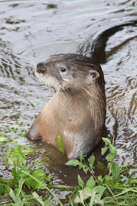 Central Kentucky Wildlife Rehabilitation, Inc.    Oliver, our orphan river otter, enjoying playtime in the creek!  Like · · Share · August 5, 2011