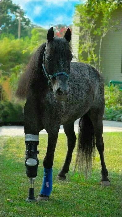 This is amassing a horse prosthesis