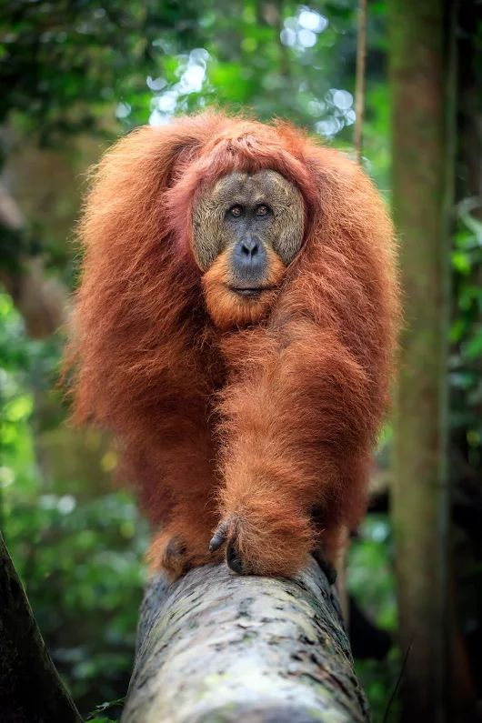 A male Sumatran orangutan crosses a fallen tree, Indonesia. The Sumatran orangutan is critically endangered, with less than 15,000 alive in the wild.