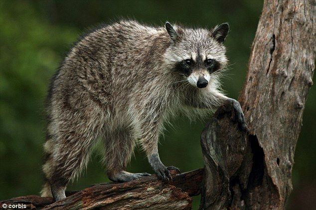 Mother, 19, facing charges after pet raccoon attacks newborn baby ...