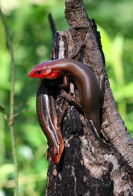 U S Lizard 516 best images...