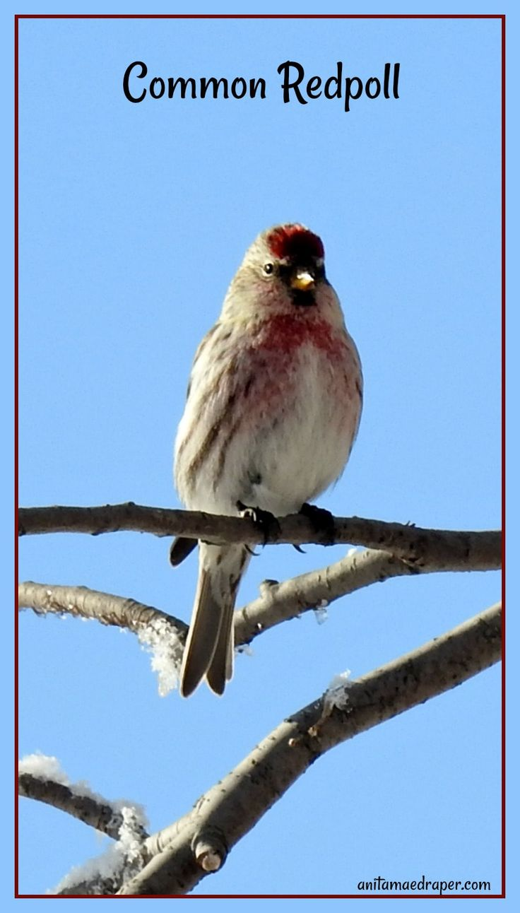 Common Redpol, male, sighted south of Montmartre, SK on January 21, 2018 by Anita Mae Draper.