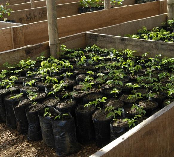 Young seedlings growing in the new nursery.
