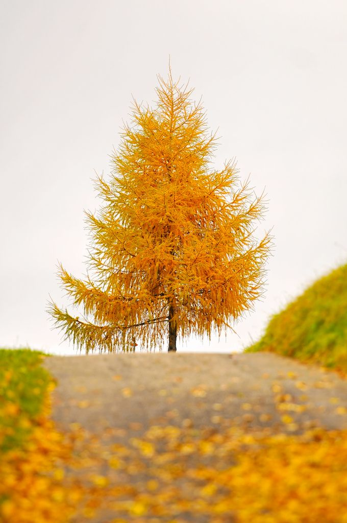 The golden tree at the end of the way | Pinterest | Autumn, Leaves and Autumn fall