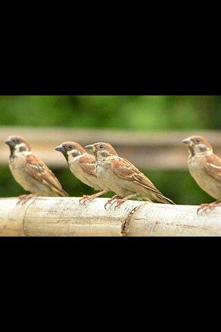 European tree sparrows