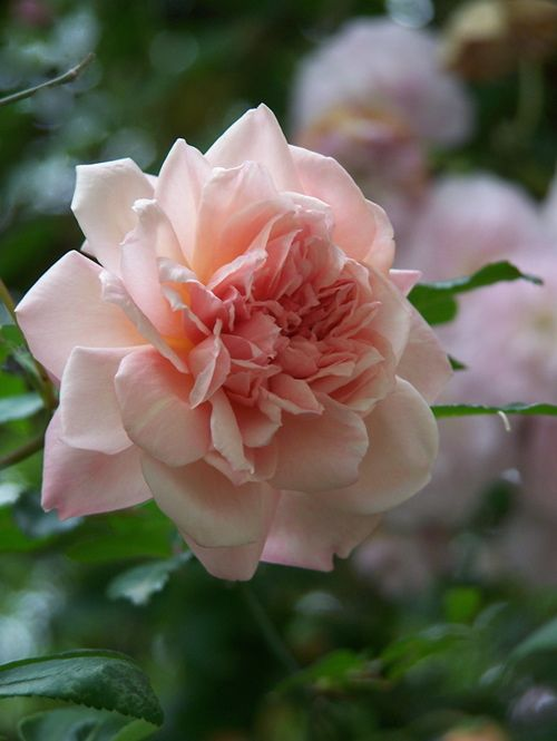 17 best ideas about vieux rose on pinterest. Black Bedroom Furniture Sets. Home Design Ideas