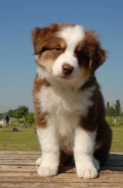 red australian shepherd puppy
