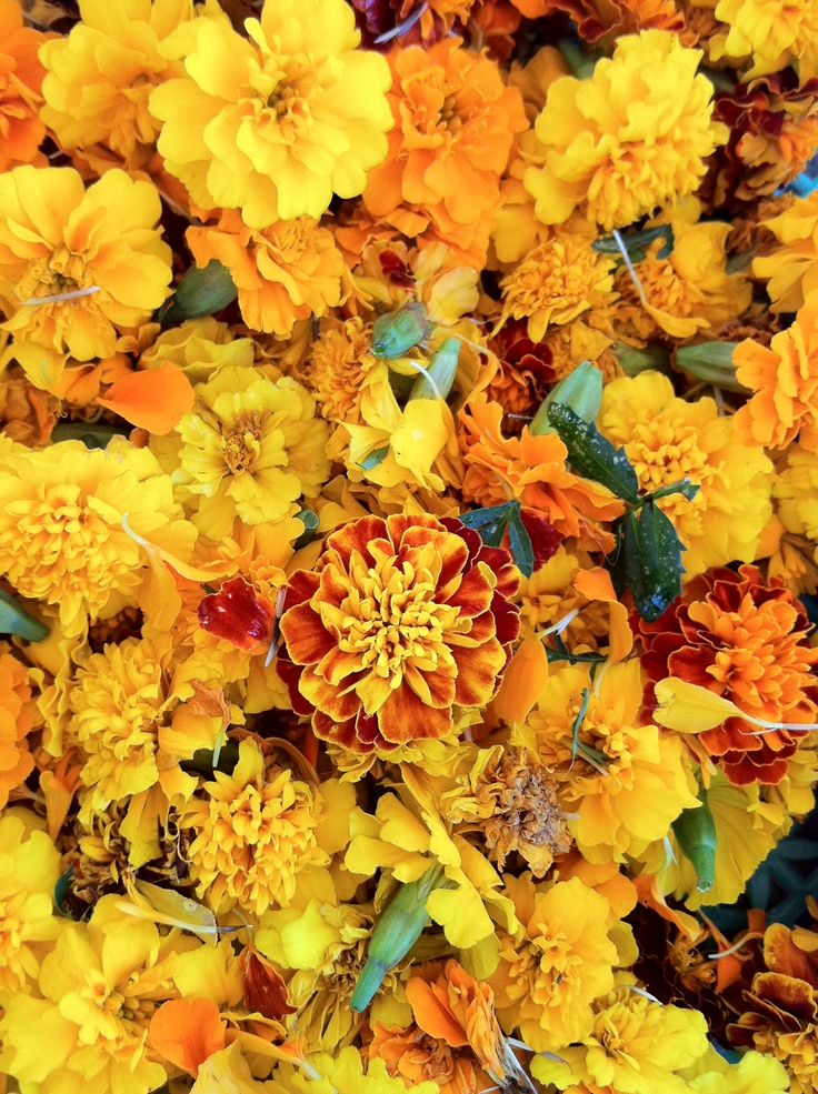 32 Best Images About Marigolds On Pinterest Gardens Flowers And Vegetable Garden