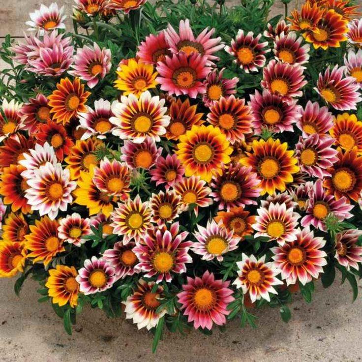 plante plein soleil gazanie-Gazania-jolies-pétales-nuances-variées