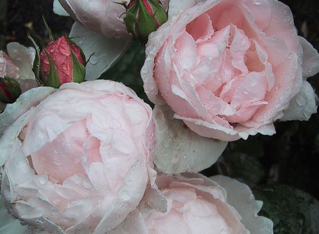 David Austin rose 'Chauser' --- From David Carlson's rose garden in Falsterbo, Sweden.