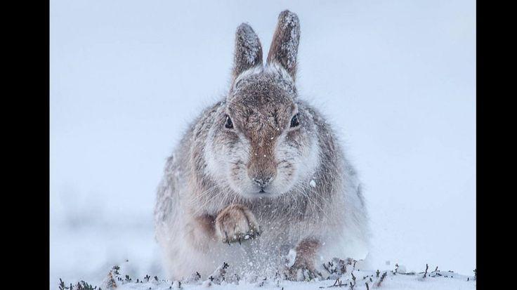 Imagen ganadora de la categoría Mamíferos. Liebres de montaña, Escocia