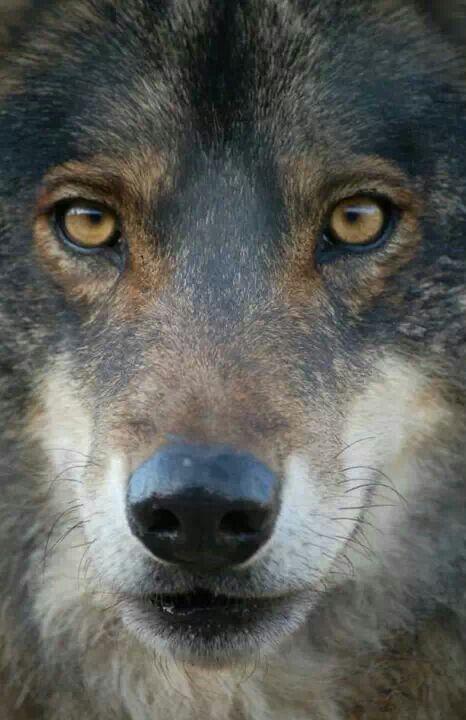 Wolf at Lobo Park Spain