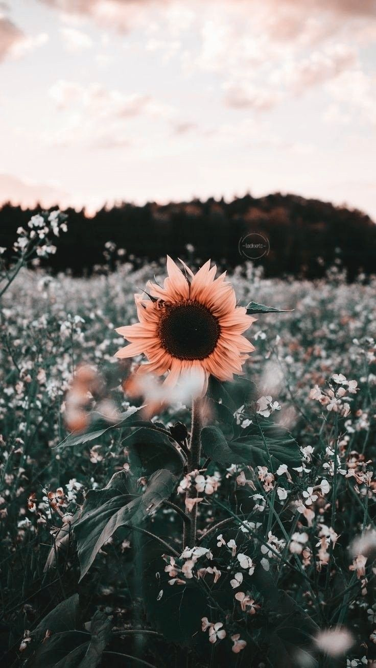These hd iphone wallpapers are free to download for your iphone(include iphone 12). flower background | Sunflower wallpaper, Cute wallpaper ...