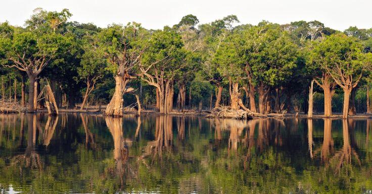 Floresta de igapós nas margens do rio Igapó-Açu (AM). A Amazônia abrange 4,2 milhões de km², o que representa quase 50% do território brasileiro. Sua formação vegetal inclui florestas densas e abertas, campos alagados, florestas estacionais, várzeas, florestas de igapó, entre outros. O bioma é foco de estudo por diversos pesquisadores, sendo que em 2013 uma pesquisa descobriu uma nova espécie de anta, mamífero que não tinha registro de nova espécie há 150 anos