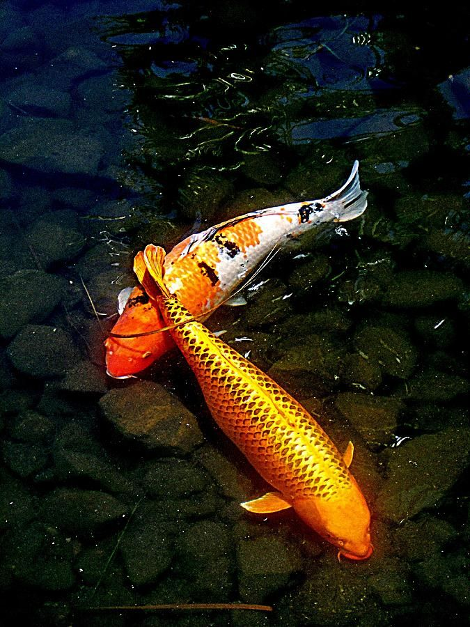 27 best images about koi fish art on pinterest oil for Japanese koi carp paintings