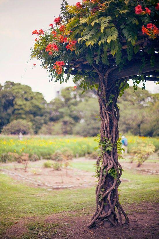 Secret Garden: 43 Best Images About Trumpet Vines On Pinterest