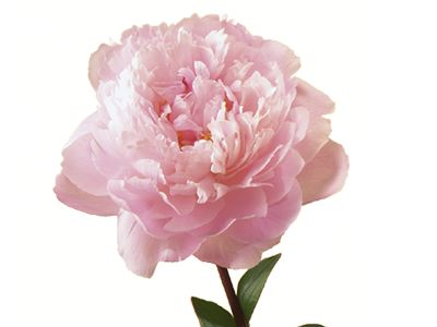 Peony - In full bloom, the lush peony embodies romance and prosperity. Known as the flower of riches and honor, the peony is regarded as an omen of good fortune and a happy marriage - 12th anniversary