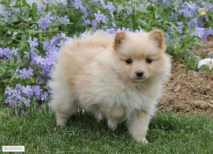 Pomeranian Puppy for Sale in Pennsylvania