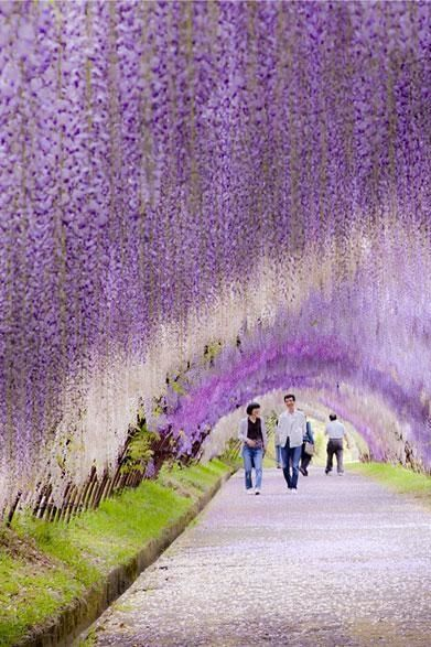 wisteria flower tunnel // japan